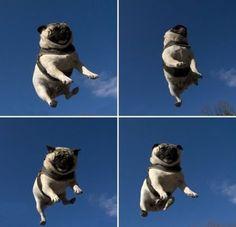 Pug Jumping on Trampoline!