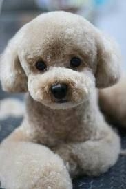 Cute Animals - The poodle is one of the most popular breeds in Japan. The teddy bear clip is the main poodle hairstyle. Dog Grooming Styles, Poodle Grooming, Pet Grooming, Japanese Dog Grooming, Japanese Dogs, Japanese Style, Cute Puppies, Cute Dogs, Dogs And Puppies