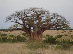 Baobabs store water inside their swollen trunks, up to 120 to endure the harsh drought conditions particular to each region. Le Baobab, Baobab Tree, Tree Drawings Pencil, Weird Trees, Tree Saw, Black And White Tree, Lone Tree, Tree Images, Unique Trees