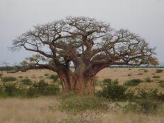 Gorgeous Baobab Tree, Africa