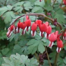 Valentine Bleeding Heart for sale buy Dicentra spectabilis 'Valentine' PPAF