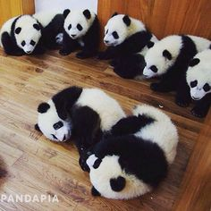 Panda wrestling club! www.pandathings.com