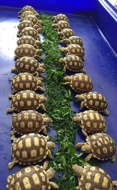 The popularity of tortoises as pets has increased over time. This is because they are silent, they do not shed any far and they are cute. They are most cute Land Turtles, Cute Turtles, Sea Turtles, Cute Baby Animals, Animals And Pets, Funny Animals, Beautiful Creatures, Animals Beautiful, Sulcata Tortoise