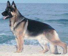German Shepherds are the best dogs. Want one now