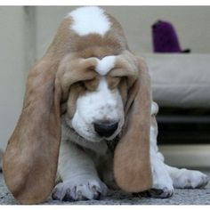 Basset Hound! Sweet goodness! I want one of these so bad! They have got to be the cutest dog ever!!!!