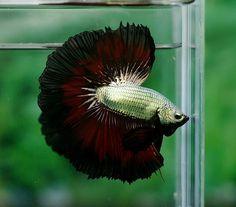 Seriously looking towards attempting doing these betta fish ideas. Pretty Fish, Beautiful Fish, Animals Beautiful, Betta Tank, Fish Tank, Aquariums, Carpe Koi, Siamese Fighting Fish, Little Fish