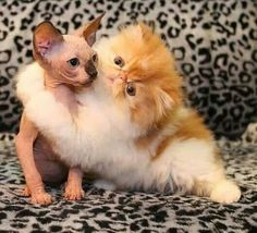 """* * ORANGE PERSIAN: """" If  I coulds give yoo some of me fur, I woulds."""" SPHYNX: """" Maybe I don'ts want hiz fur."""""""