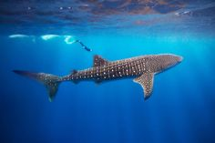 Tony Rath's underwater shot of a diver dwarfed by a whale shark at Gladden Spit in Belize's Barrier Reef made him a finalist in ~ The Nature Conservancy photo contest: amazing photos Whale Shark Diving, Swimming With Whale Sharks, Big Shark, Scuba Diving, Padi Diving, Beautiful Creatures, Animals Beautiful, Deep Blue Sea, Shark Week