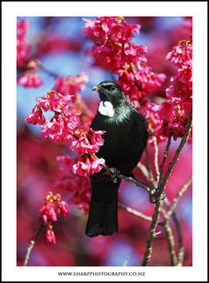 found in watching and listening to a New Zealand native songbird - the Tui. Beautiful Birds, Animals Beautiful, Tui Bird, Kiwiana, Happy Paintings, Colorful Birds, Black And White Pictures, Bird Feathers, Pet Birds