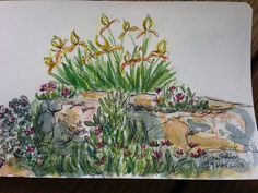 Pen and Ink and watercolor by Tisha Sheldon Sedum and Irises in my garden