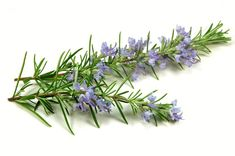 Toto je najlepšia zelená bylinka pre mozog, srdce, cievy, kĺby a mnohé ďalšie. Pripravíte si ju takto | Báječné Ženy Rosemary Flower, Rosemary Plant, Plants That Repel Flies, Loción Facial, Camomille Romaine, Ravintsara, Fly Repellant, Healing Herbs, Citronella