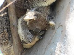 We've gathered our favorite ideas for Koala Conservation Days At The You Yangs Melbourne, Explore our list of popular images of Koala Conservation Days At The You Yangs Melbourne. Koala Marsupial, Quokka, Baby Koala, Koala Bears, Animal Tumblr, Australia Animals, Echidna, Walkabout, Spirit Animal