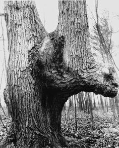 "Iroquois ""Spirit Tree"" estimated to be over 500 years old located in Allen County, Indiana near Fort Wayne"