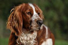 Spaniel Breeds, Akc Breeds, Spaniel Dog, Spaniels, Welsh Springer Spaniel Puppies, Springer Dog, Dog Heaven, Dog Search, Dog List