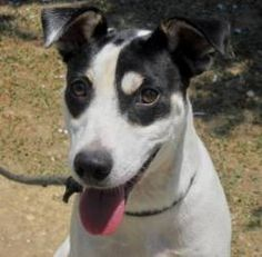 Domino is an adoptable Terrier Dog in Columbiana, AL.  ...