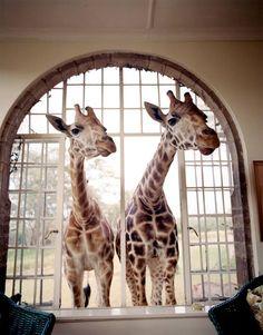 Giraffe Manor ,Kenya