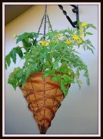 Growing tomatoes in hanging baskets.  http://www.vegetable-garden-guide.com/how-to-grow-tomatoes.html