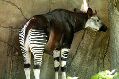 The okapi (Okapia johnstoni) is an unusual animal living in high altitudes in the rain forests of Congo, in central Africa. With white-and-black stripes on its legs, it was first thought to be some kind of a rainforest zebra or a forest-dwelling horse. However, okapi is not related to a zebra but guess what… it is the only living relative of the giraffe!