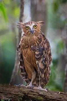Kétoupa malais // Buffy Fish Owl - love this charming guy. Buffy, Owl Photos, Owl Pictures, Beautiful Owl, Animals Beautiful, Nocturnal Birds, Owl Bird, Mundo Animal, Pretty Birds