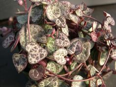 This list of best trailing succulents is exciting if you're a succulent lover. Grow them in your hanging baskets or in tall-narrow pots and see the fat stems dangling down! Flowering Succulents, Foliage Plants, Cacti And Succulents, Planting Flowers, Plants For Hanging Baskets, Hanging Succulents, Herb Garden Design, Garden Web, Garden Ideas