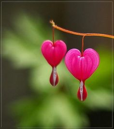 The Bleeding Heart flower-my grandma had one, my mom has one,so now I gotta have one at my house
