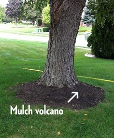 Rescuing Trees from Girdling Roots - Spotts Garden Service Tree Mulch, Mulch Around Trees, Plants Under Trees, Landscaping Around Trees, Outdoor Landscaping, Trees And Shrubs, Front Yard Landscaping, Trees To Plant, Outdoor Gardens