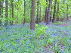 Bluebell woods Morpeth.