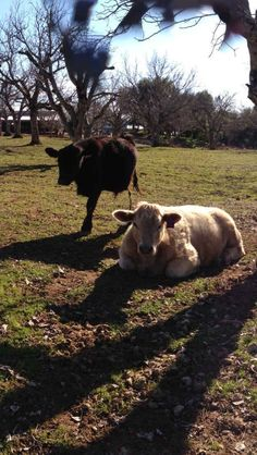 One legged cow.    24 Horrifying Animal Panorama Fails That Will Haunt Your Dreams