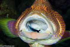 Grouper & juvenile wrasse cleaner by Dany Weinberg