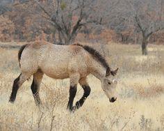 Bashkir Curly Horse Stag Creek Nabesna Dove