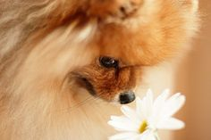 My Little girl Pomeranian loves to smell pretty flowers to