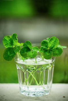 I love having things that alive in my home. Simple clovers in a cup rather than stuffy knicknacks anyday!!!
