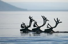 Swimming Caribou...