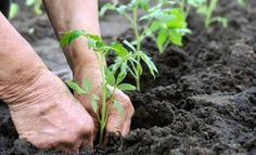 Growing Tomatoes From Seed, Types Of Tomatoes, Tomato Seedlings, Tomato Plants, Tomato Garden, Vegetable Garden, Organic Gardening, Gardening Tips, Planter Rosier
