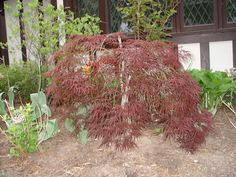 Photo by Bob Saget Julian Alps, Japanese Maple, Acer, Yard, Flowers, Plants, Image, Patio, Florals