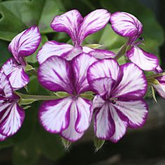 Geranium 'Holiday Purple Dream'