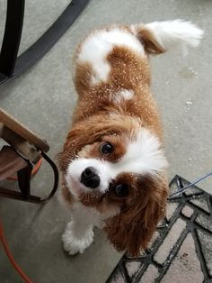 Find Out More On Fun Cavalier King Charles Spaniel Personality King Spaniel, Spaniel Puppies, King Charles Spaniel, Puppies And Kitties, Cute Puppies, Cute Dogs, Doggies, Cavalier King Charles Dog, Sweet Dogs