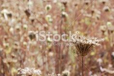 Seedhead Royalty Free Stock Photo