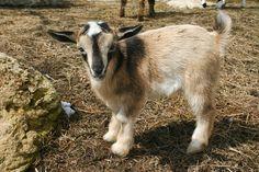 Nigerian Dwarf Goats   Original Country Girl