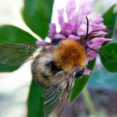 Bumblebee 🐝 on the clover 🍀 iPhone 6s + Olloclip + Litescala 1