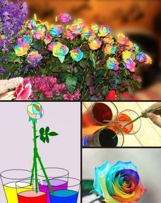 How to make rainbow roses - NaturalGardenIdeas.com How to make rainbow roses - NaturalGardenIdeas.com Read directions about how to make rain...