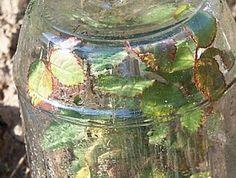 Rosensteckling unter Glas  :-)