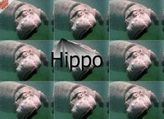 Here it is: THIS SITE.   11 Reasons Hippos Are The Most Awesome Animals Of All Time