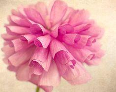 Rosa Hahnenfuß Print, Makro Blume Foto, Floral Kunstdruck, Cottage schicke Wall Decor Blumen Fotografie