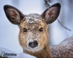 Reh, Schnee