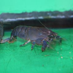 "Vampire Shrimp   Scientific NameAtya gabonese  Max Size (in inches)4""  RestrictedYes  Common NameVampire Shrimp  DifficultyModerate  Community SafeYes  Min Tank Size (in gallons)20 gallon  pH Range6.5-8.0  DietOmnivore  OriginAfrica"