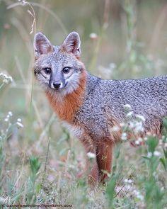 Gray Fox by Danny Brown