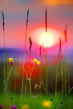 Buttercup Sunset, Gloucester, England