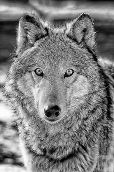Owww superbe loup gris <3 ****