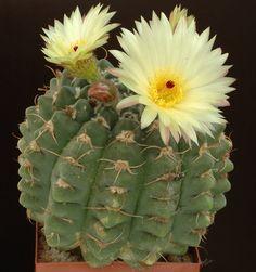 Notocactus_Crassigibus.jpg